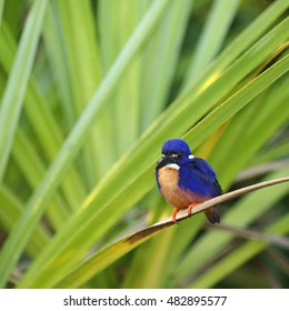 Common Kingfisher, Yellow River, Kakadu National Park, Northern Territories, Australia