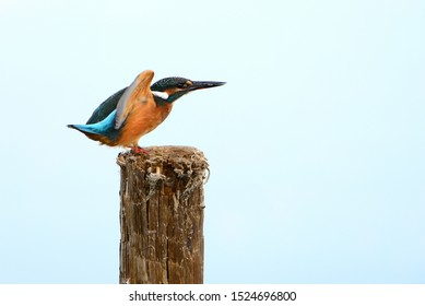 The Common Kingfisher(Alcedo atthis)also known as Eurasian Kingfisher, is a small kingfisher with seven subspecies recognized within its wide distribution across Eurasia and North Africa. Ready to fly