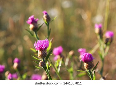Common Knapweed (Centaurea nigra) on dawn. Selective focus