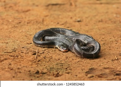 """Common Krait or Indian Krait one of the most venomous snake and member of """"Big 4"""" Species from Indian Subcontinent"""
