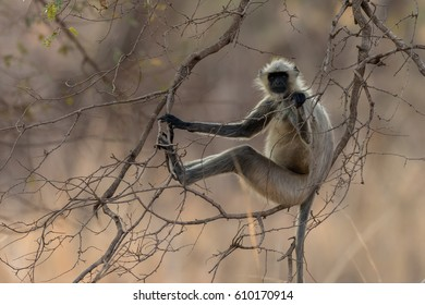 Common Langur monkey sitting on a branch in a tree taken In Tadoba National Park