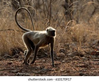 Common Langur monkey walking on dirt road taken in Tadoba National Park