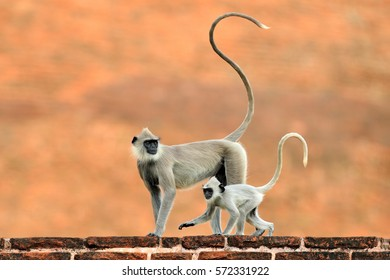 Common Langurs, Semnopithecus entellus, monkey with long tail on the orange brick building in Sri Lanka. Urban wildlife with mother and cub.