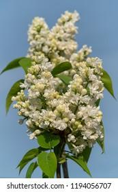 Common Lilac (Syringa vulgaris), flowers of springtime