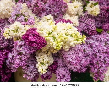 Common lilac (Syringa vulgaris) is a species of flowering plant in the olive family Oleaceae, native to the Balkan Peninsula, where it grows on rocky hills.