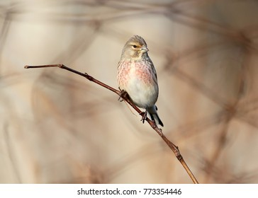 The common linnet (Linaria cannabina) sits on branch on blurred gray background