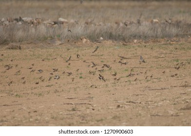 Common linnets (Linaria cannabina mediterranea), Eurasian tree sparrows (Passer montanus) and European goldfinches (Carduelis carduelis parva). Gallocanta Lagoon Natural Reserve. Aragon. Spain.