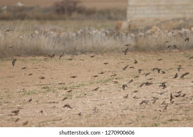 Common linnets (Linaria cannabina mediterranea), Eurasian tree sparrows (Passer montanus) and European goldfinches (Carduelis carduelis parva) in flight. Gallocanta Lagoon. Aragon. Spain.