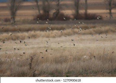 Common linnets (Linaria cannabina mediterranea) and European goldfinches (Carduelis carduelis parva) in flight. Gallocanta Lagoon Natural Reserve. Aragon. Spain.