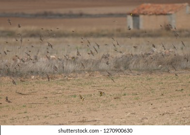 Common linnets (Linaria cannabina mediterranea), Eurasian tree sparrows (Passer montanus) and European goldfinches (Carduelis carduelis parva) flying. Gallocanta Lagoon Natural Reserve. Aragon. Spain.