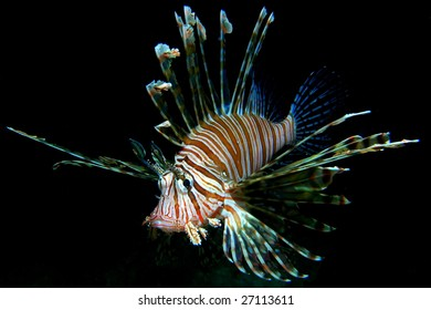 Common lion fish