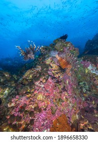 Common lionfish in a coral reef (Mergui archipelago, Myanmar)