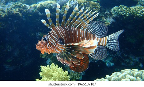 Common lionfish or devil firefish (Pterois miles) undersea, Red Sea, Egypt, Sharm El Sheikh, Nabq Bay. Also called Indian lionfish.