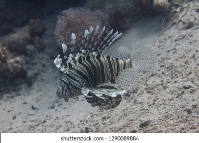 Common Lionfish on Coral Reef in Red Sea off Dahab, Egypt