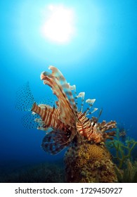 A common lionfish on the lookout for prey