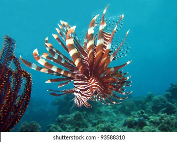 Common Lionfish, Panglao, Philippines