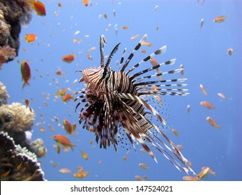 Common lionfish (Pterois miles) hunting around the pinnacle with red anthiases