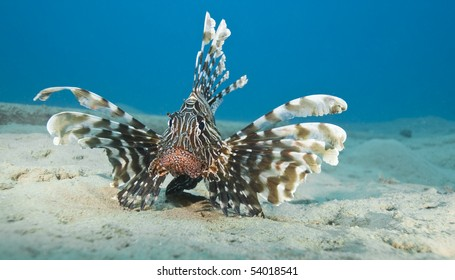 Common lionfish (Pterois miles) on the sandy seabed. Naama Bay, Sharm el Sheikh, Red Sea, Egypt.