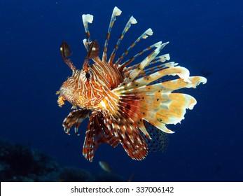 Common lionfish (Pterois miles) portrait