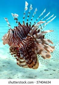 Common Lionfish (Pterois volitans).