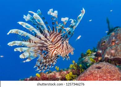 Lionfish clipart Coral reef background clipart fish transparent clip art |  Willie.abimillepattes.com