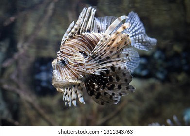 Common lionfish (Pterois volitans) swimming in water. Fish is a tropical species with a painful venom