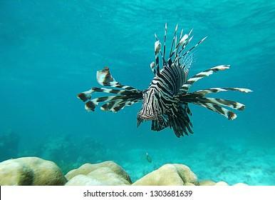 Common Lionfish swimming above coral reefs , Mombasa - Kenia