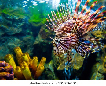 Common Lionfish (Turkeyfish, Red Lionfish) - Pterois volitans on a tropical coral reef
