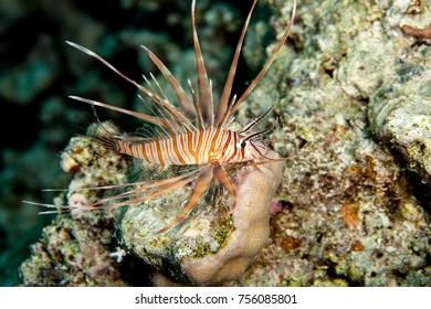 Common Lionfish (Turkeyfish, Red Lionfish) - Pterois volitans