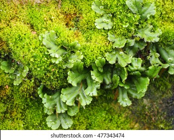 Common liverwort (Marchantia polymorpha) moss on the old stones