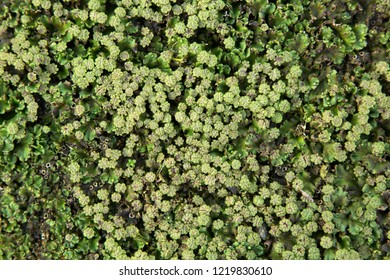 Common liverwort or Umbrella liverwort (Marchantia polymorpha)