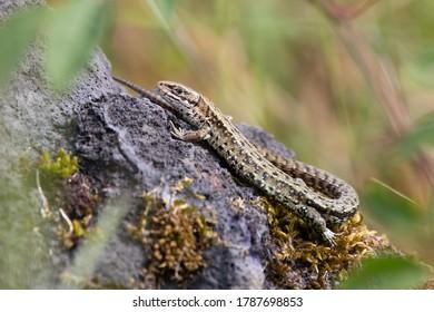 common lizard basking on a rock