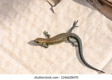 Common lizard, Lacerta vivipara, basking on piece of cardboard dumped by careless people in Peak District National Park area,Uk.Devastating impact of human on natural environment.