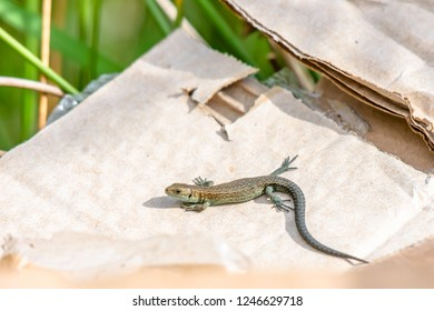 Common lizard, Lacerta vivipara, basking on piece of cardboard dumped by careless people in national park area,Uk.Devastating impact of human on natural environment.