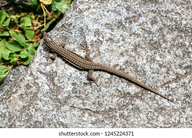 Common Lizard, Lacerta vivipara, on a stone