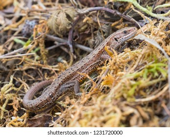Common lizard (Lacerta Zootoca vivipara) basking