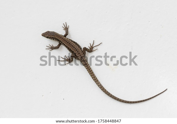 common-lizard-lat-lacerta-agilis-600w-17