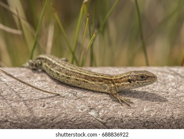Common lizard on a wall in the sunshine