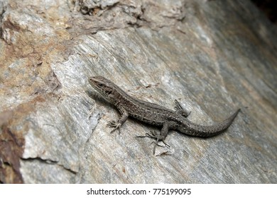 Common lizard, Viviparous lizard, Zootoca vivipara, resting on a rock