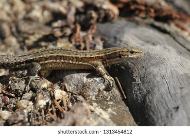 common lizard, zootoca vivipara