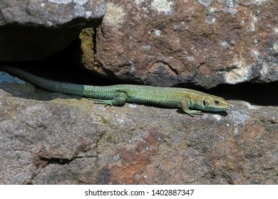 Common Lizard (Zootoca vivipara) basking on lichen covered dry stone wall