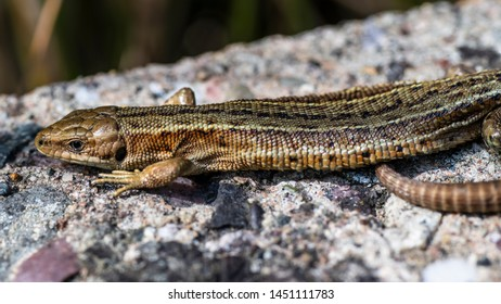Common Lizard (Zootoca vivipara) basking in sunlight on a wall in Combe Valley, East Sussex, England