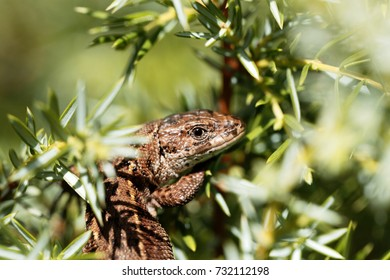 Common lizard (Zootoca vivipara) in a bush.