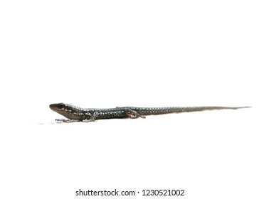 Common lizard. A common lizard - Zootoca vivipara formerly classified as Lacerta vivipara - basking with a white background. This small lizard is found throughout Northern Europe and central Asia.