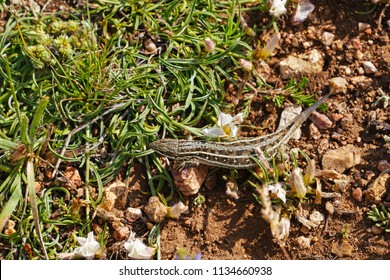 Common Lizard (Zootoca vivipara) with a missing tail on ground