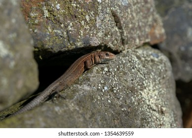 Common lizard,Zootoca vivipara,viviparous lizard