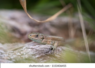 Common lizzard in Wales