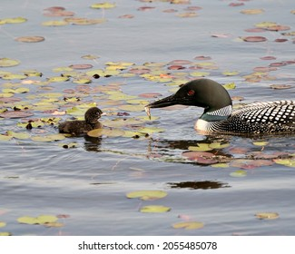 Common Loon and baby chick loon swimming in pond and celebrating the new life with water lily pads in their environment and habitat surrounding. Parent feeding baby with minnow. Loon Picture.