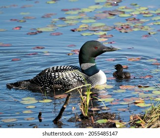 Common Loon and baby chick loon swimming in pond and celebrating the new life with water lily pads in their environment and habitat surrounding. Loon Picture. Portrait. Image. Photo.