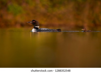 A Common Loon and its baby swim in the calm water bathed in golden evening sun on a calm pond in New Hampshire.